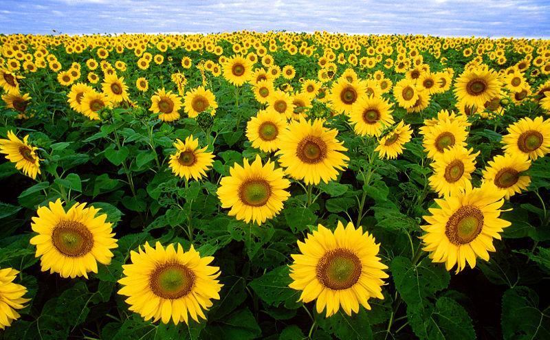 A flor do Pro.VI.Sol